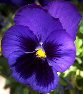 Blue Pansy Joy | by cobalt123