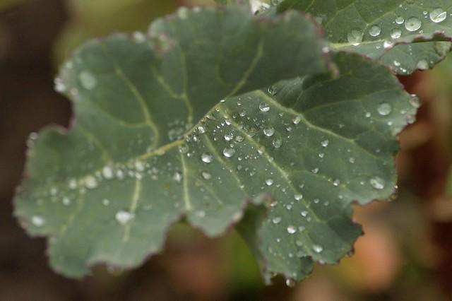 imgp6199 - Wet Broccoli Leaf