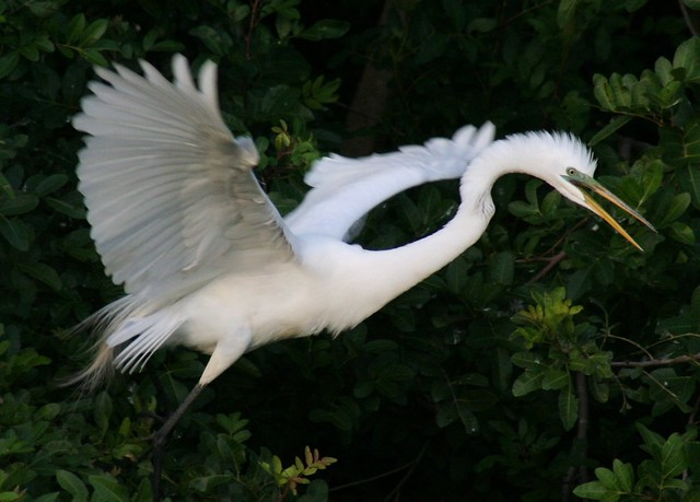 excited egret takes off