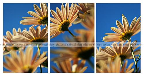 autumn sun flower fall daisies pretty naturallight frombelow daisie