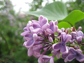 Lilacs | by unforth