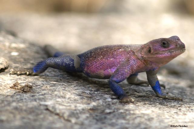agama_lizard_serengeti_south_0272-tz008-resized