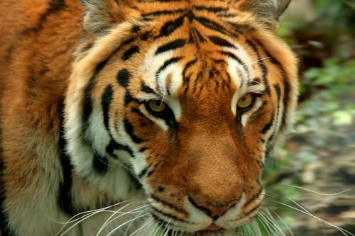 Tiger [1]