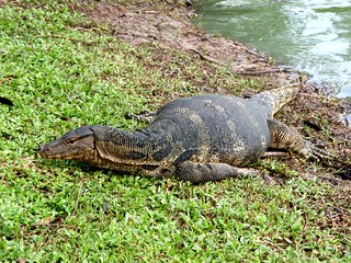Bangkok Monitor Lizard or Hia at Lumphini Park | by Eric Pesik and Deanna Pesik