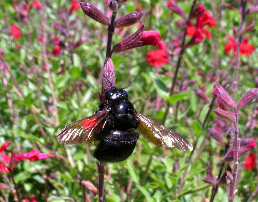 Black Bumble Bee >> Big Black Bumble Bee Jpg Joe Henry Mama Flickr