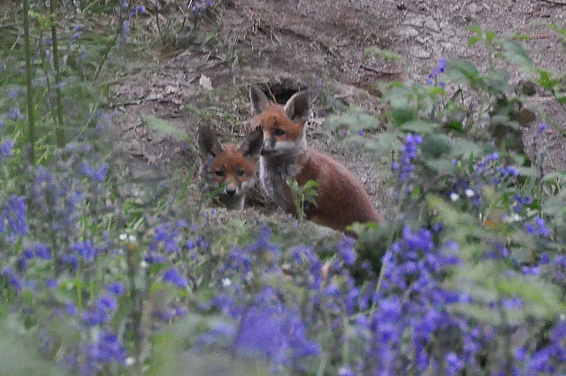 Fox Cubs among the Bluebells, Shepley West Yorkshire