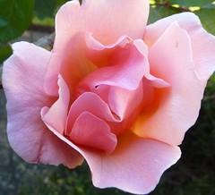 Dixieland Linda Rose