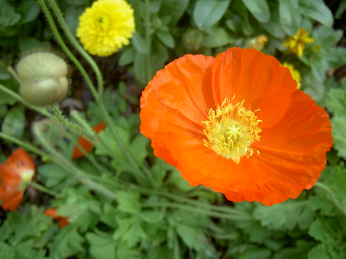 Poppies | by SprittiBee