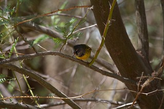 MacGillivray's Warbler, Oporornis tolmiei | by Tommy Pe Pe