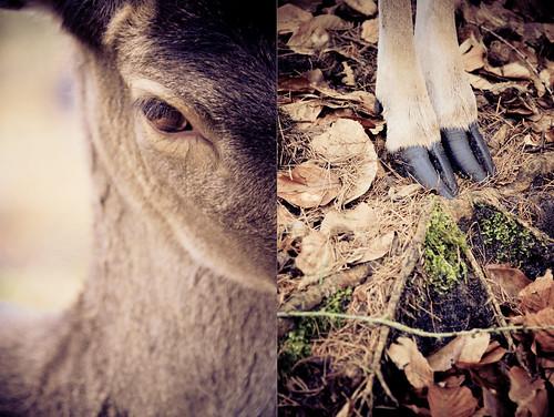 deutschland zoo diptych deer explore brandenburg roe reh myfave hirsch eberswalde diptychon vazaar spechthausen