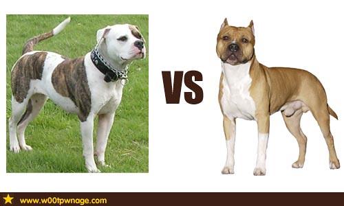American Bulldog vs American Staffordshire Terrier   Flickr