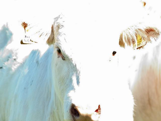White Cattle
