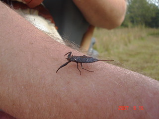 nèpe - scorpion d'eau - waterscorpio