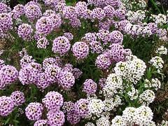 Lobularia maritima - Sweet Alyssum | by hortulus