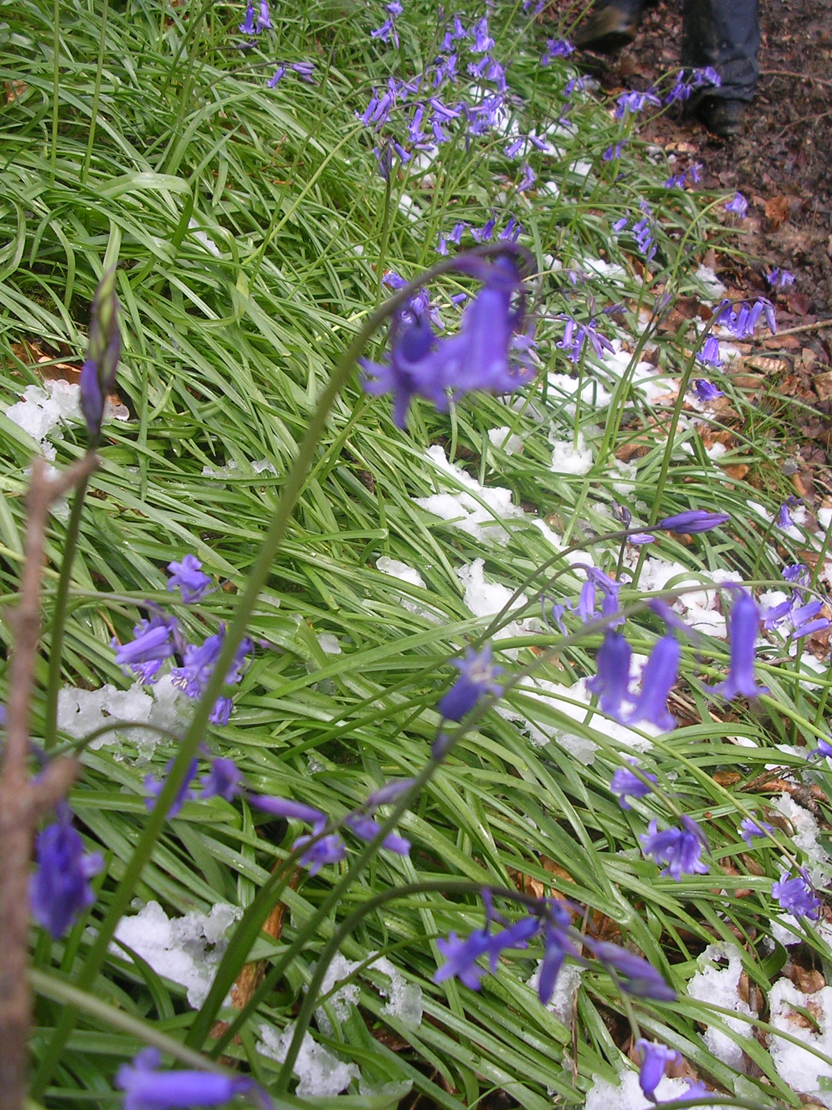 bluebells in snow Haslemere Circular (silent walk)