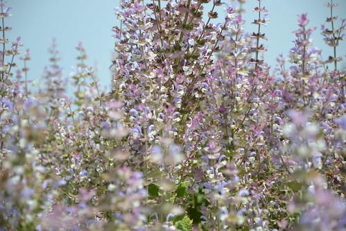 Salvia sclarea - sauge sclarée 32542090880_0dc151bbec