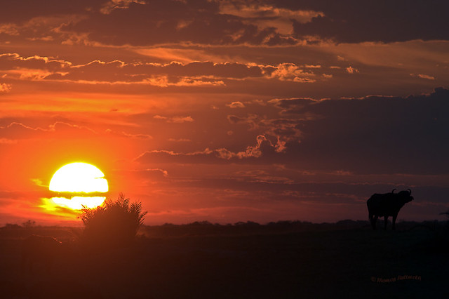 Buffalos at sunset II