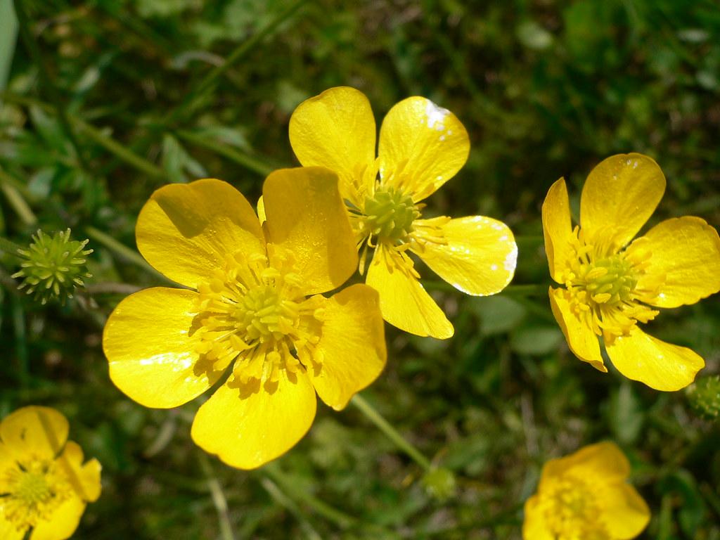 Fiori Selvatici Foto E Nomi ranuncolo europeo selvatico | ranunculus is a large genus of
