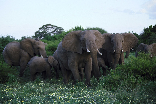 Elephants at Mala Mala Reserve, Limpopo, South Africa