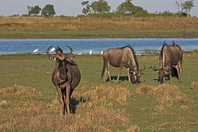 Wildebeests at Linyanti