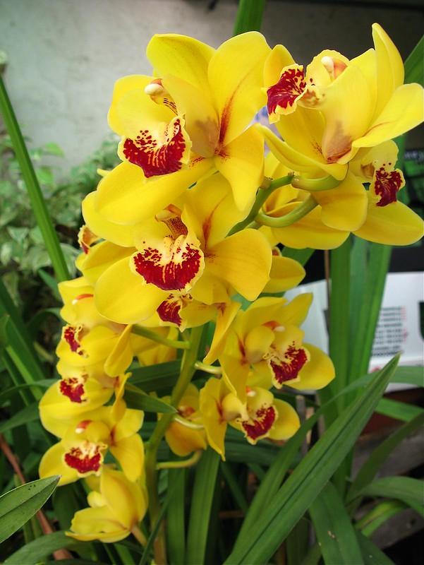 Nanay's Cymbidium Orchid