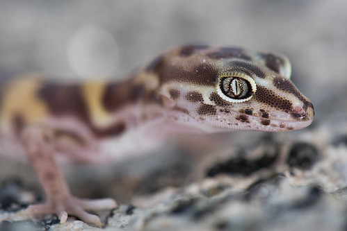 San Diego Banded Gecko | by Jeremy Wright Photography