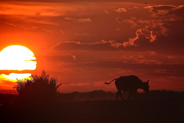 Buffalo at sunset