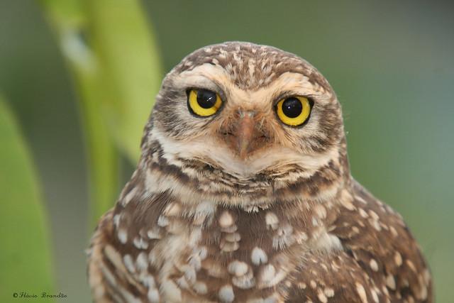 Série com a Coruja-buraqueira (Speotyto cunicularia) - Series with the Burrowing Owl 05-05-2008 200
