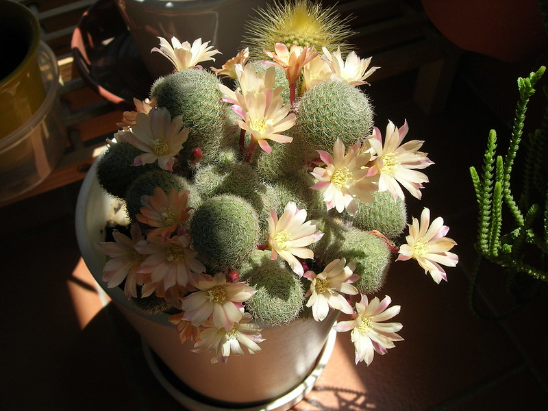 Gran Floración