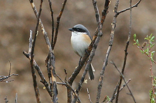 Gray-backed Shrike | by brad.schram