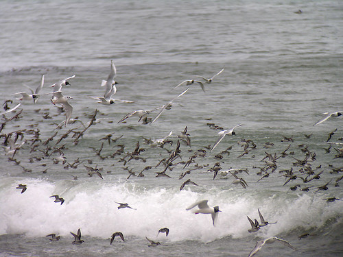 Gulls and Phalaropes | by Len Blumin
