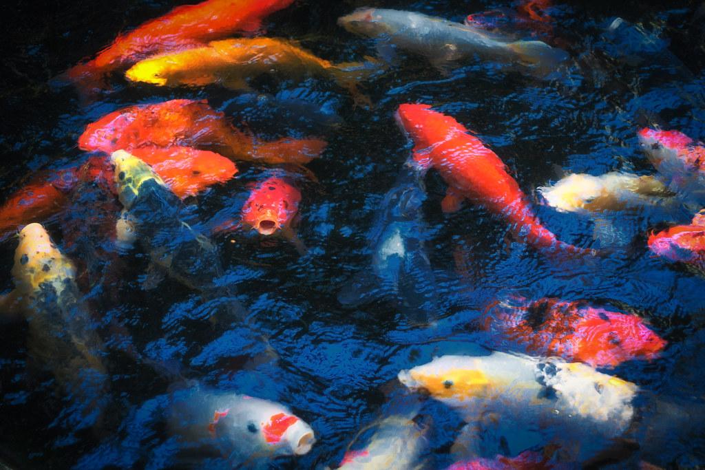 Twilight In Koi Pond >> Koi The Koi Pond At Selby Gardens In Floridaa Karen Flickr