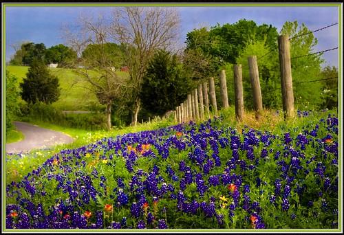 road trees sky rural fence spring bravo texas barbedwire wildflowers yellowflowers bluebonnets countryroad redflowers brenham indianpaintbrush texaswildflowers blueflowers naturesfinest getrdun anawesomeshot phillipsburgchurchroad