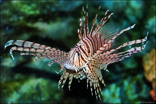 Pterois Volitans, (or red lionfish) . . . | by grantthai