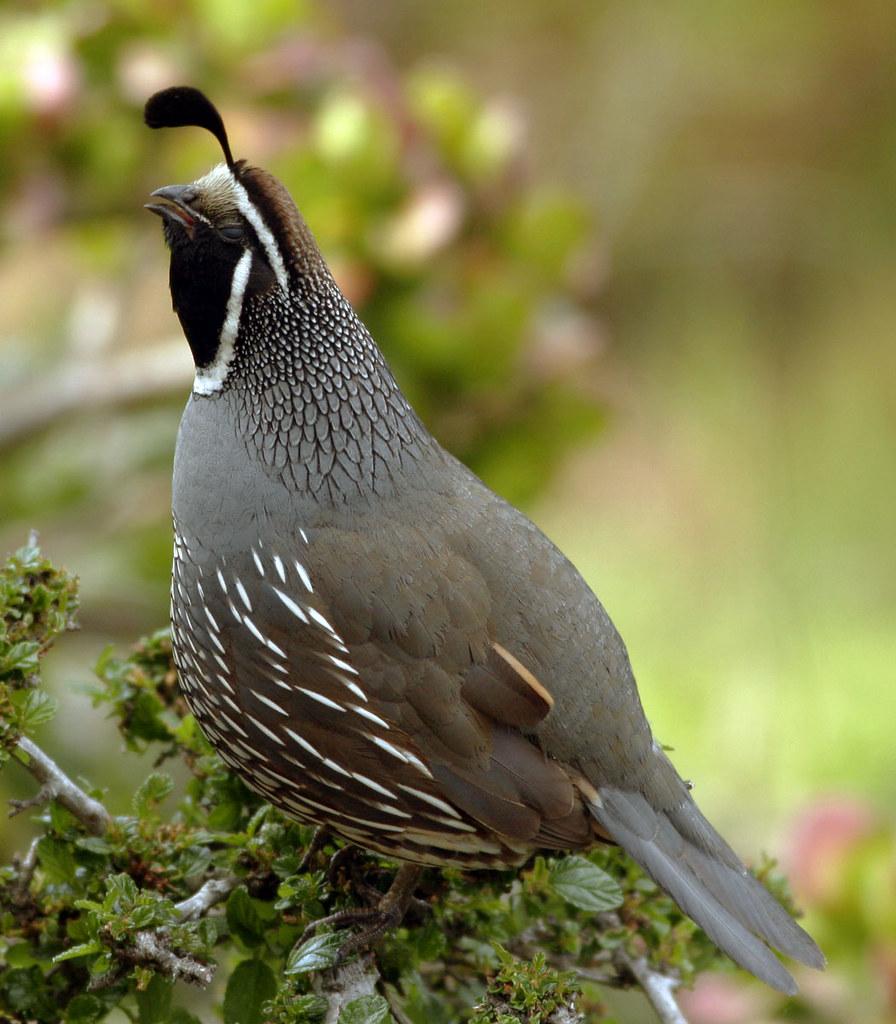California Quail California S State Bird In Springtime Ca Flickr