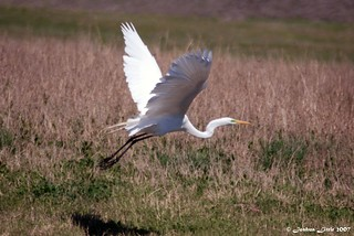 Great Egret | by Joshua Little