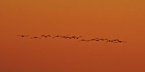 sunset bird myrtlebeach fly dusk pelican flickrchallengegroup flickrchallengewinner