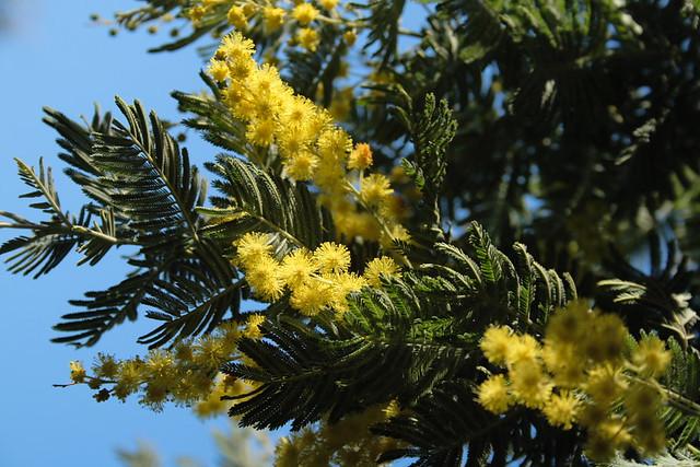 Acacia Dealbata Subsp Subalpina Paul Garrod Flickr