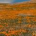 Antelope Valley Poppy Preserve--I