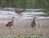 West Indian Whistling-Ducks by Langooney