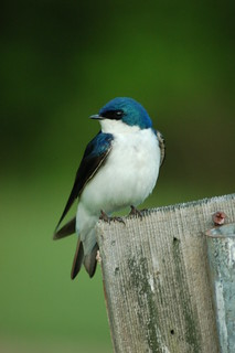 Tree Swallow | by A. Drauglis