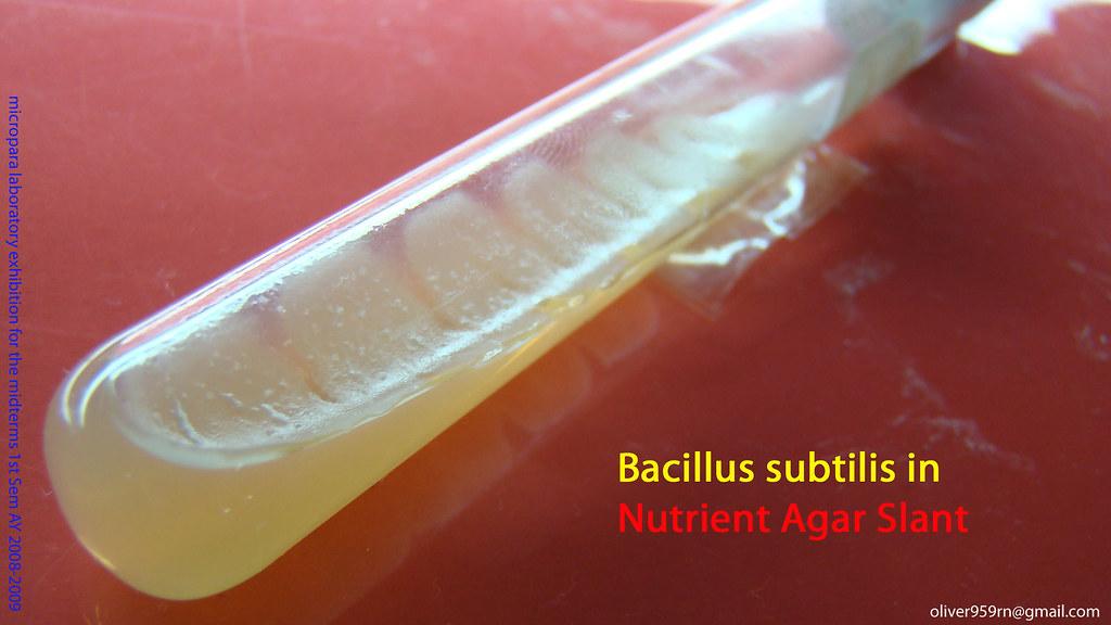 Dsc00013 Bacillus Subtilis In Nutrient Agar Slant