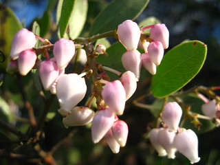 manzanita flower | by ((brian))