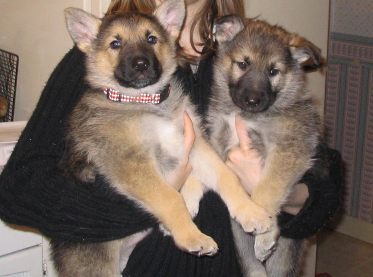 German Shepherd/malamute/arctic wolf puppies - a photo on Flickriver
