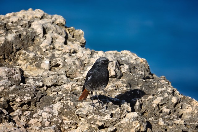 Rabirruivo (Black Redstart)