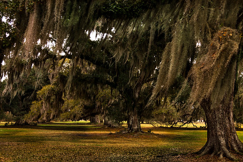 louisiana mandeville oaktrees lakepontchartrain fountainebleaustatepark alleyofoaktrees