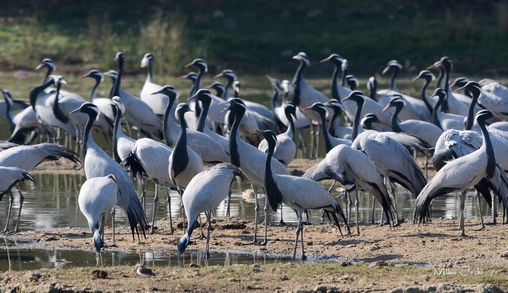 Demoiselle crane [Grulla Damisela]