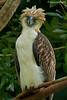 Philippine Eagle (Pithecophaga jefferyi) by neon2rosell