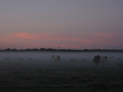 cows norcal ground fog sunrise yubacounty hwy20 commute field