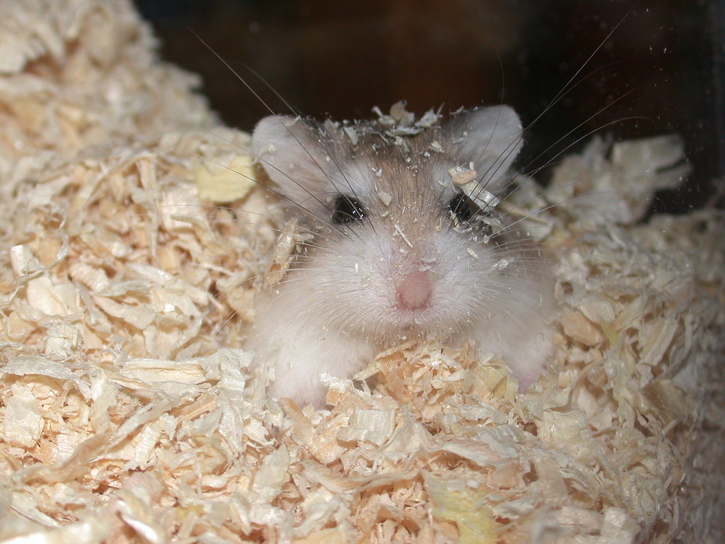 Tac, my Roborovski Hamster | My best photo(s) of Tic and Tac